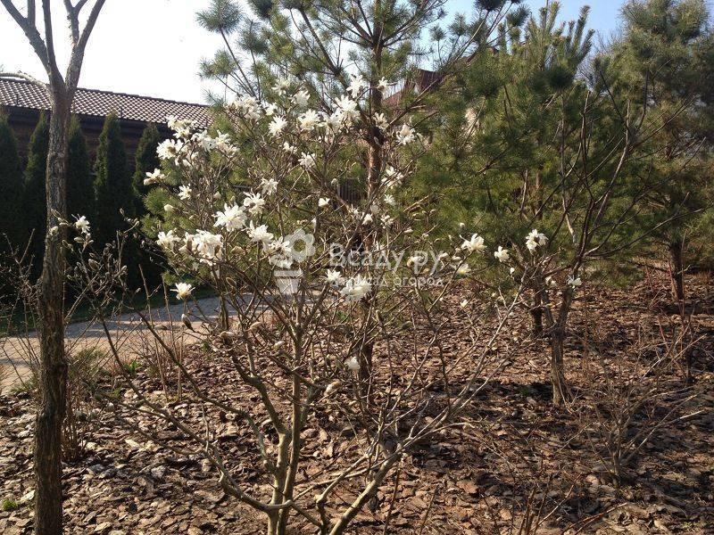 Магнолия: выращивание открытом грунте, посадка и уход, фото, виды и сорта