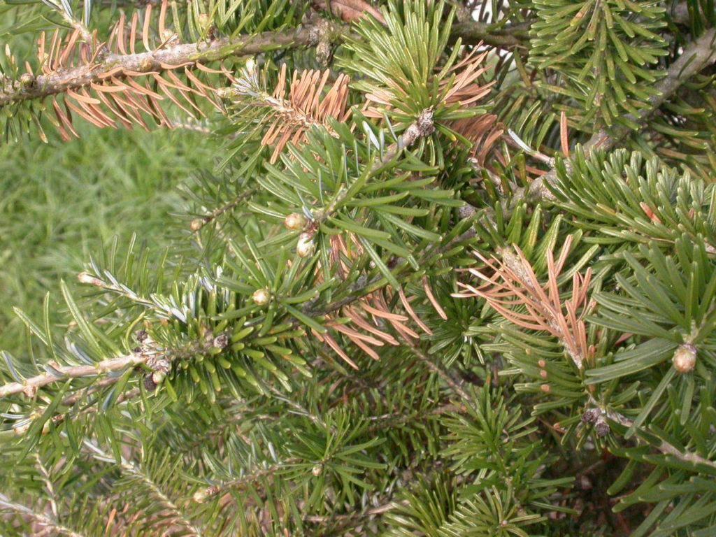 Туя почернела: что делать, если пятна снизу? причины почернения веток и листьев. как с этим бороться?