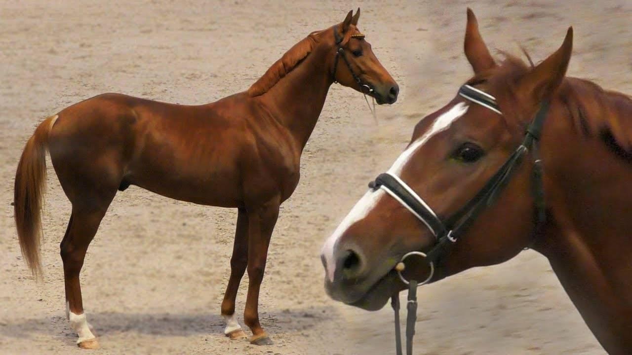 Буденновская порода лошадей (28 фото): характеристика коней. история создания породы. описание типов