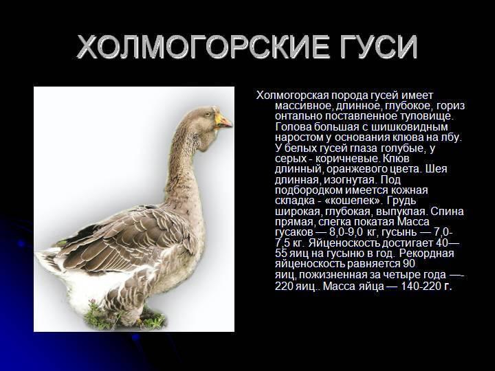 Холмогорская порода гусей: характеристика