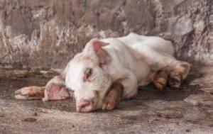 Все что нужно знать о пастереллезе свиней