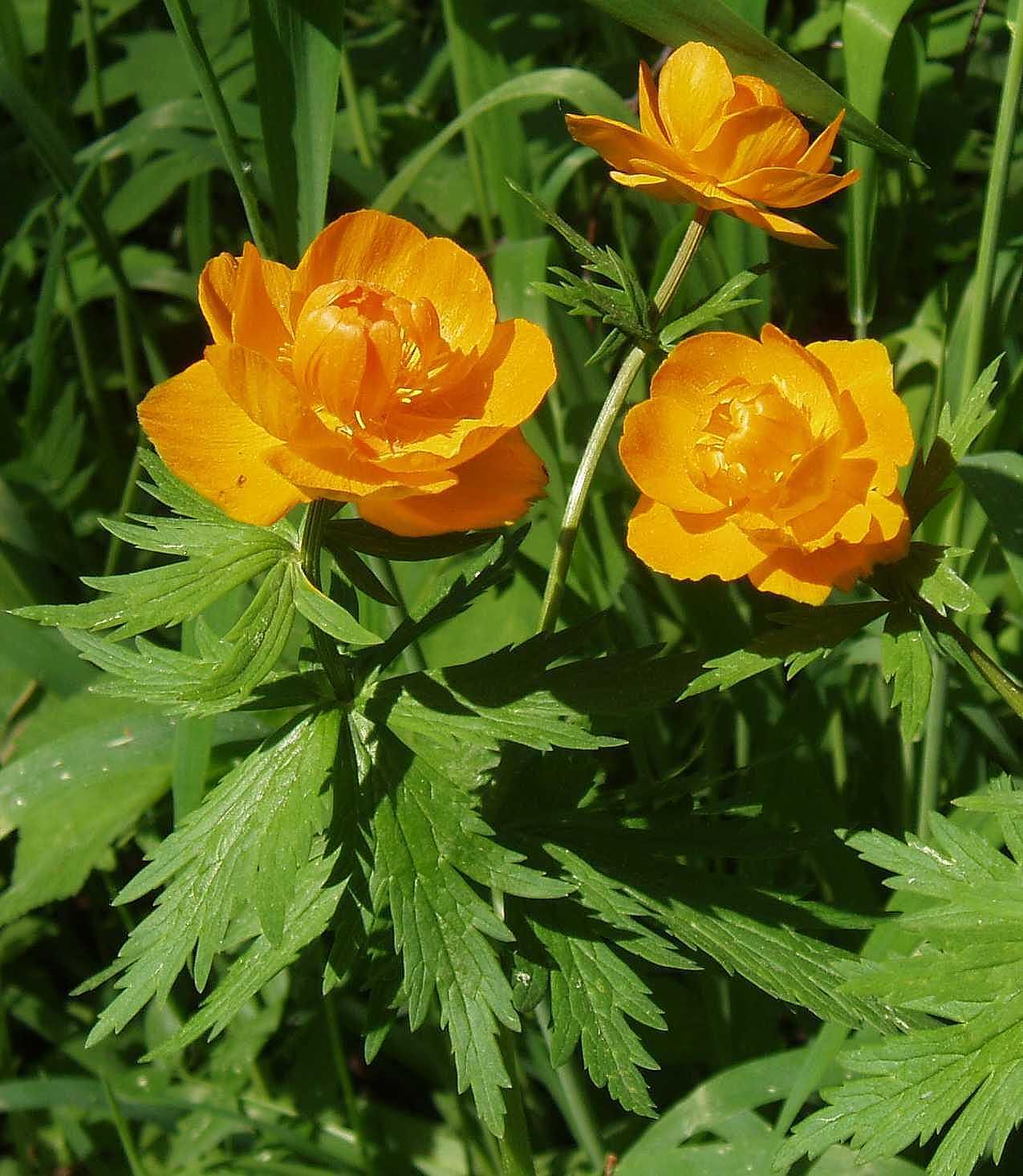Цветок купальница: фото растения, описание полезных свойств, как выращивать из семян