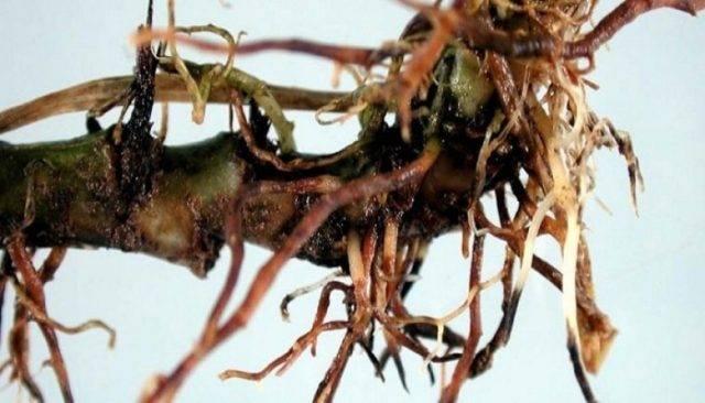 Цветок астильба: посадка и уход за растением в открытом грунте, фото и описание сортов