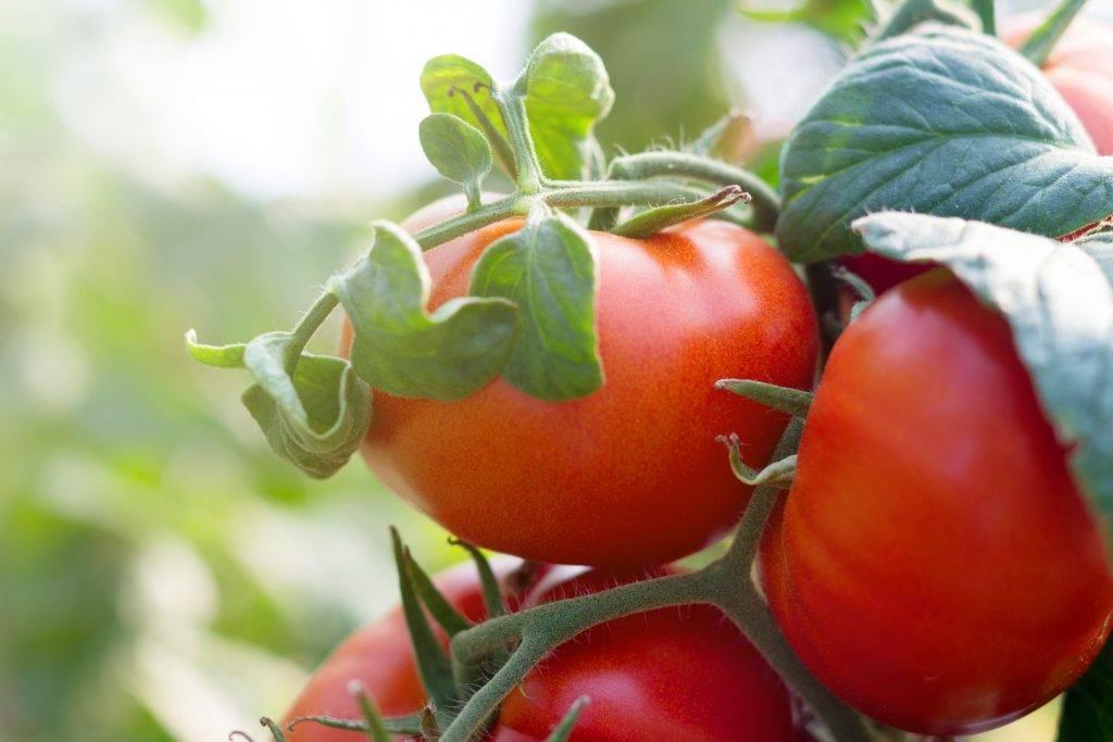 Красивый сорт с неповторимым ароматом — томат розовый вкус f1: полное описание помидоров