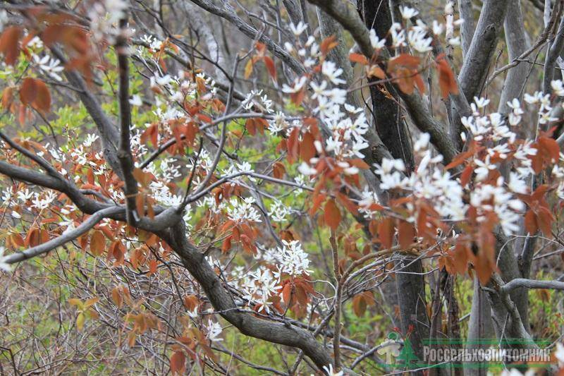 Ирга ламарка: знакомимся с культурой, посадка, болезни кустарника и уход