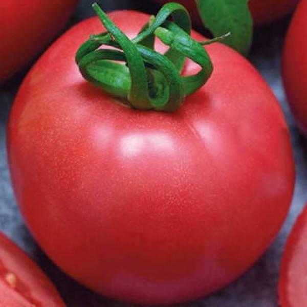 Капризный в уходе, но любимый дачниками томат «розовый фламинго»: характеристика и описание сорта