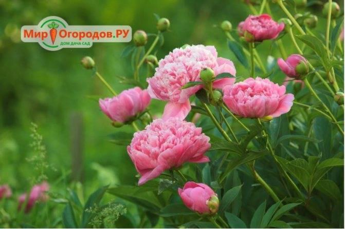 Подкормка пионов: чем их подкормить весной для пышного цветения в саду? какие удобрения любят пионы? как подкармливать органикой?