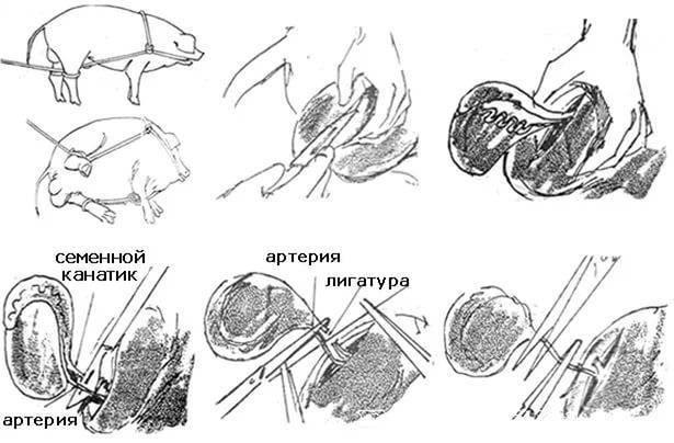 Кастрация поросят резиновыми кольцами