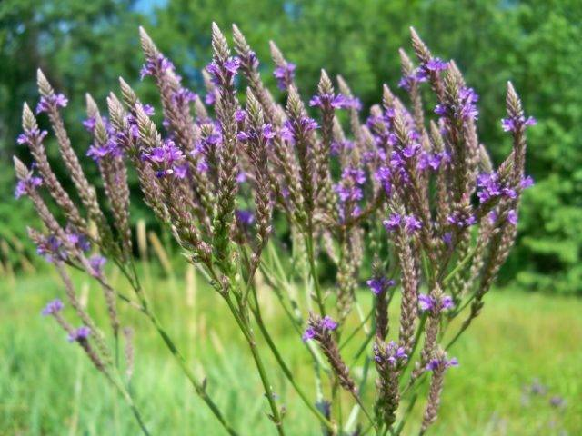 Трава вербена лекарственная – полезные свойства, отзывы