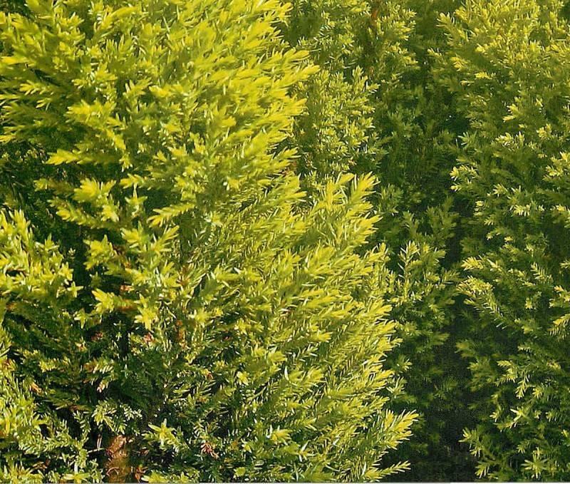 Кипарисовик элвуди можно ли высаживать в открытый грунт. особенности посадки и пересадки