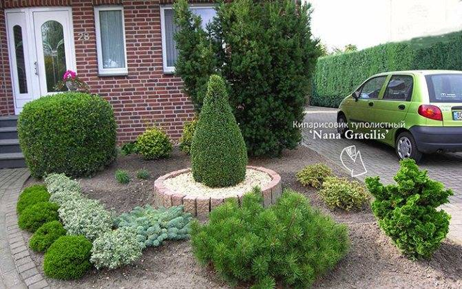 Нана грацилис — миниатюрный кипарисовик для украшения участка