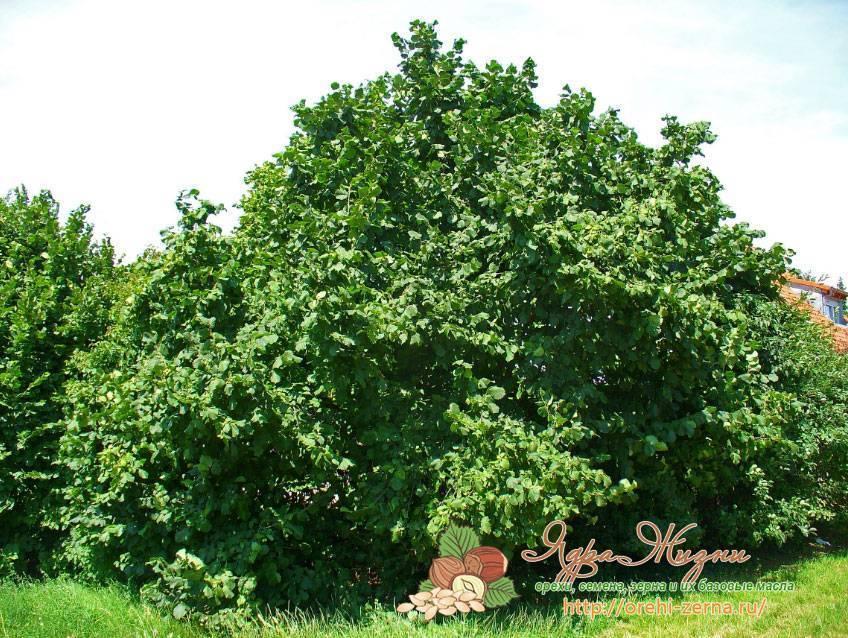 Как можно вырастить дерево из грецкого ореха?