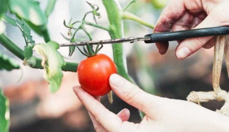 Заготавливаем семена томатов из своих помидор — пошагово