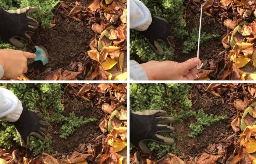 Размножение можжевельника черенками: пошаговая инструкция