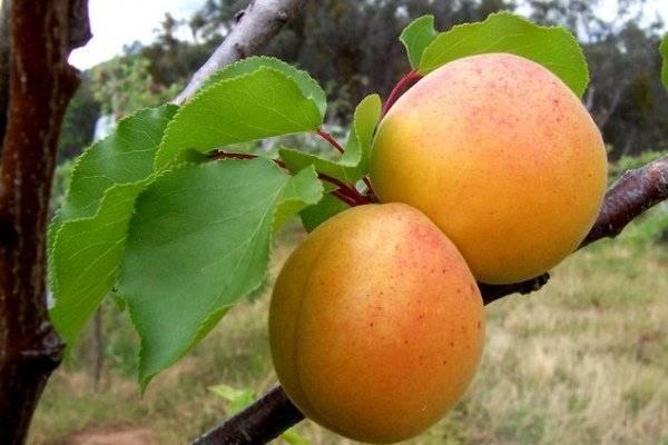 Болезни и вредители абрикоса: как распознать и бороться?