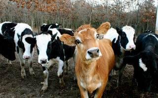 Описание коровы холмогорской породы: особенности содержания и ухода