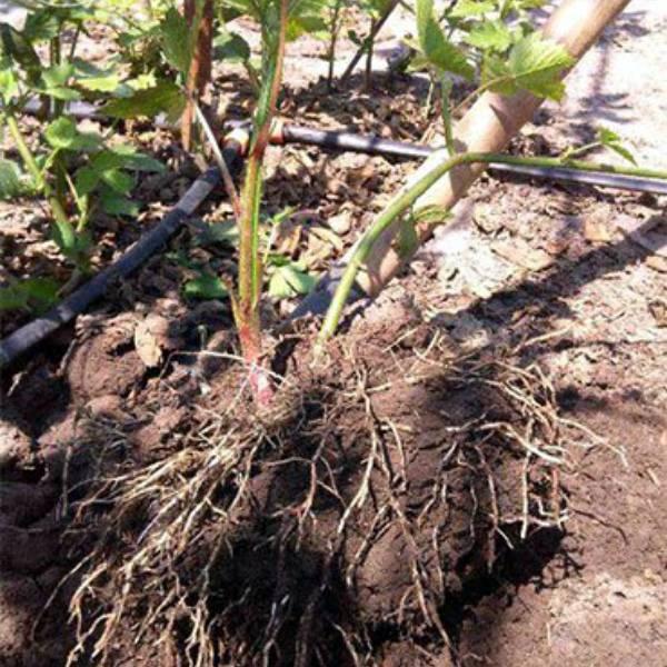 Как лучше пересадить весной ежевику: взрослое растение, молодое, с листьями