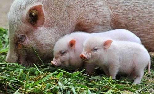 Как правильно выкормить новорожденных поросят без свиноматки