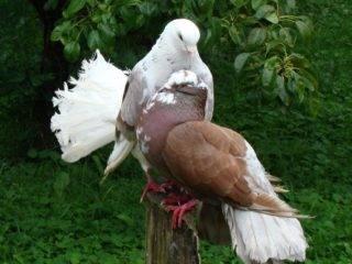 Кавминводские головатые щекатые – красивые и дикие иранские голуби