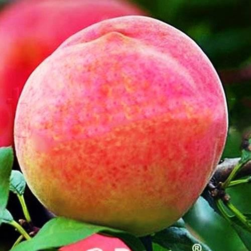 Персик розовый — описание сорта и отзывы садоводов