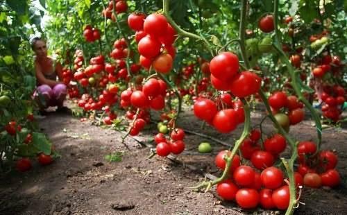 Сорт помидор диаболик f1: урожайность и особенности выращивания