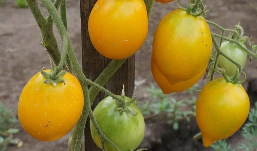 Сорт томата «чудо света»: описание, характеристика, посев на рассаду, подкормка, урожайность, фото, видео и самые распространенные болезни томатов