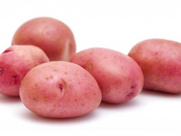 Картофель гранада: описание сорта, показатели урожайности, рекомендации по выращиванию и уходу