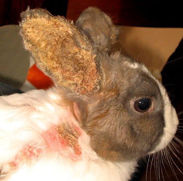Язвы болезни в ушах кроликов plt анализ повышенное крови