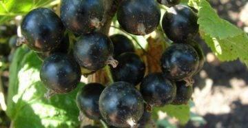 Смородина черный жемчуг – сорт, проверенный временем