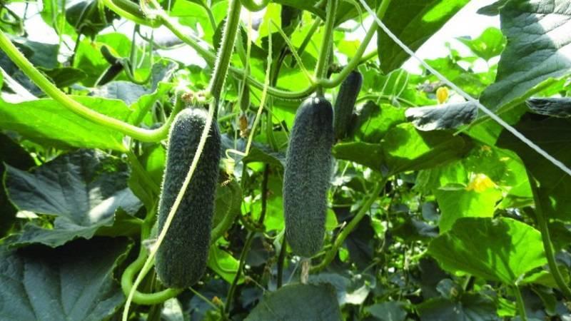 Характеристика сорта огурцов трилоджи и особенности его выращивания