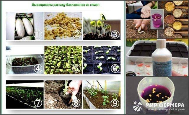 6 правил, когда сеять баклажаны на рассаду: секреты огородника.