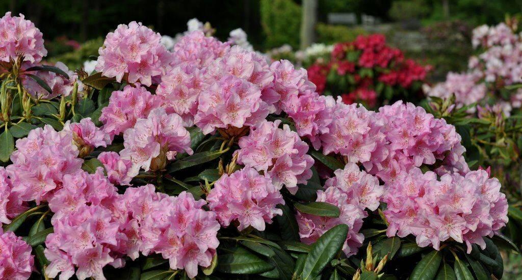 Рододендрон – «розовое дерево» в саду