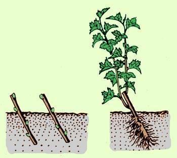 Белая смородина: выращивание и размножение