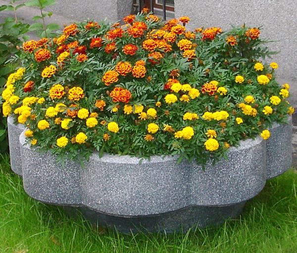 Бархатцы: выращивание из семян, посадка и уход, сорта и свойства