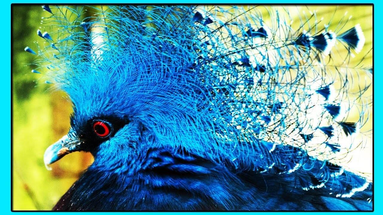 Сизые голуби — как живут и чем питаются