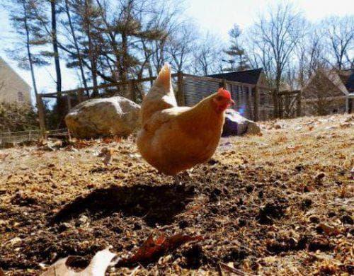 Куриный помет как удобрение: средство быстрого восстановления плодородности грунта. правильное применение