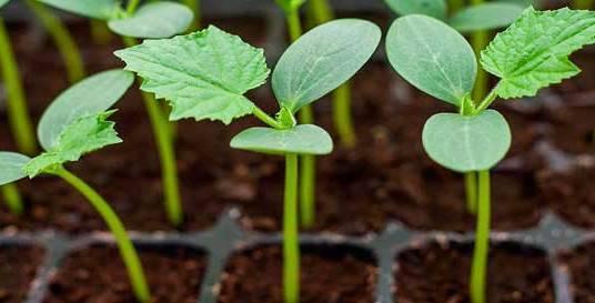 Рассада огурцов в домашних условиях: когда сажать в 2019 году по лунному календарю, способы выращивания, правила ухода