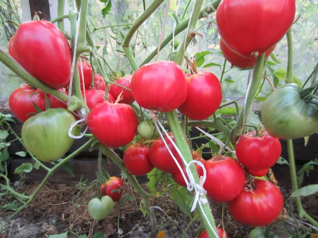 Лучшие сорта томатов кировской селекции для теплиц и открытого грунта