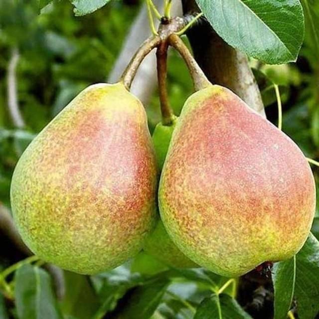 """Груша """"ника"""": фото плодов, описание сорта и его особенностей"""