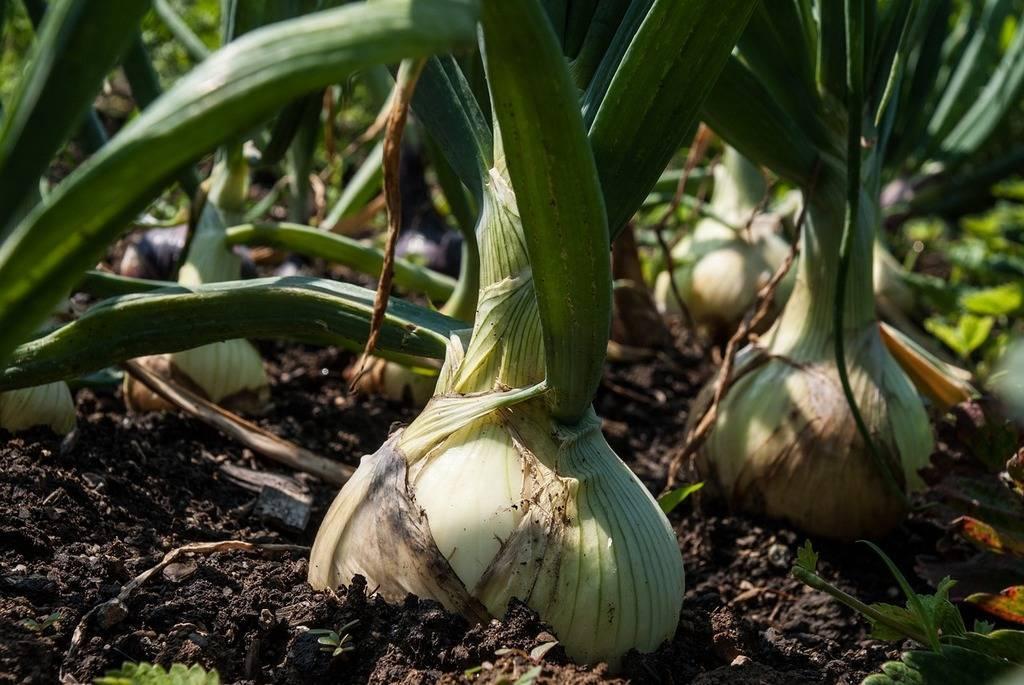 Народные средства или «химия»: чем подкормить лук и чеснок весной