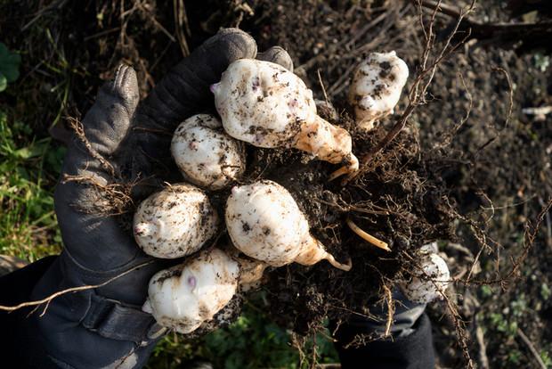 Когда убирать топинамбур. топинамбур можно осенью собрать, а можно на зиму в земле оставлять