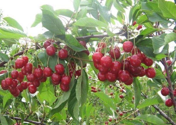 Вишня морозовка: описание сорта, фото плодов, опылители, особенности ухода