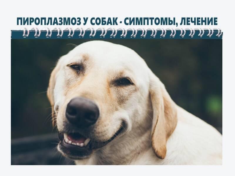 Признаки и лечение пироплазмоза у собак