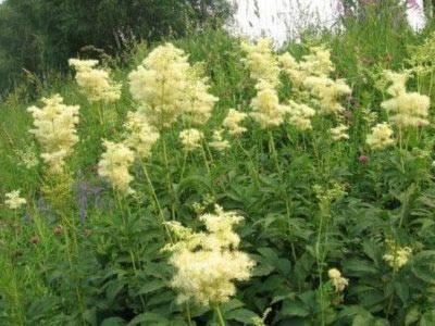 Лабазник посадка и уход: фото и описание растения