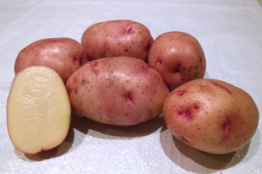 Описание сорта картофеля жуковский, отзывы, фото | весьогород.ру