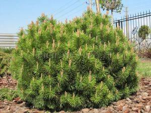 Дерево сосна: посадка и уход, фото, выращивание зимой и осенью, виды и сорта
