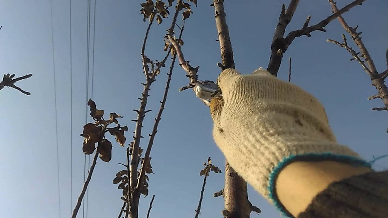 Колоновидная яблоня: уход и обрезка