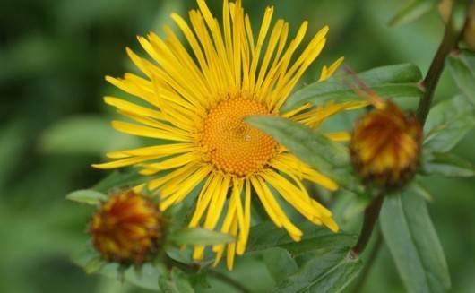 Девясил как лекарственное и декоративное многолетнее растение
