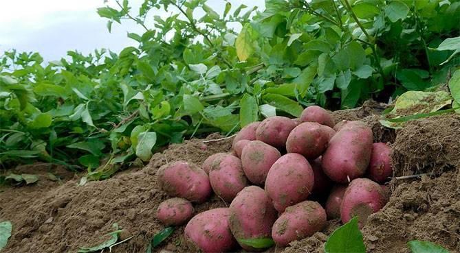 """Картофель """"ред скарлет"""": характеристика сорта, отзывы, фото"""