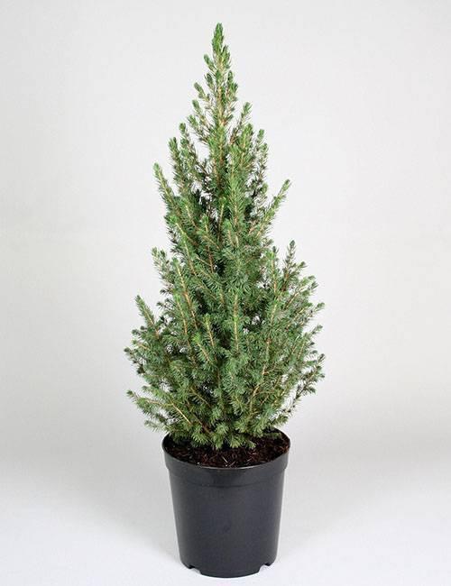 Дерево пихта: выращивание и уход в открытом грунте, фото, посадка осенью, зимовка